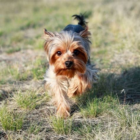 low maintenance breeds the 3 most low maintenance breeds housekeeping