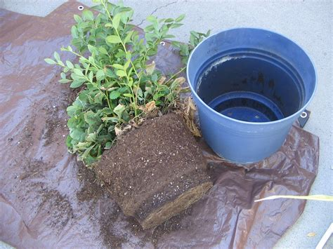 gardening how to growing repotting blueberries in idaho