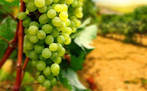 imagenes de uvas kangris fondo de pantalla uvas blancas hd