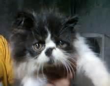 Sho Khusus Kucing Anggora golden petshop kucing di jual