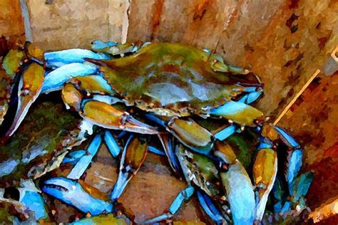 27 Best Images About Blue Crabs On Pinterest Crabs | 27 best images about blue crabs on pinterest crabs