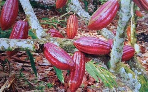 Bibit Kakao Sambung Pucuk teknik sambung sing tanaman kakao alam tani