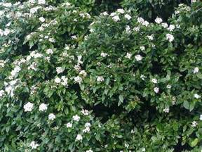 evergreen flowering shrubs for your garden