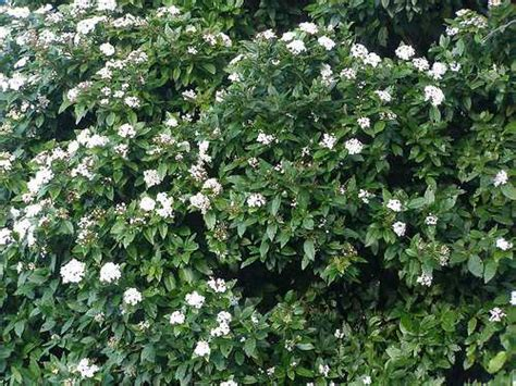 evergreen flowering shrubs for your garden - Flowering Evergreen Shrubs