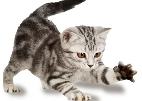 un gato y un divertida pelea entre un gato y un calamar mariela tv