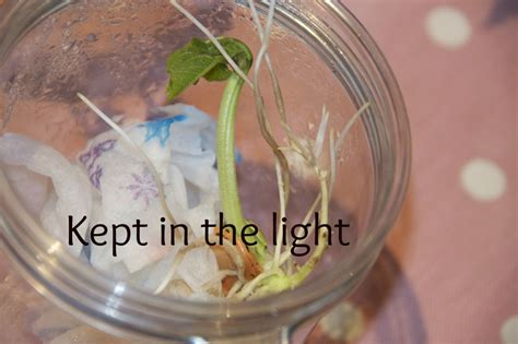 growing in the dark plants and light science project education com how to grow a bean in a jar