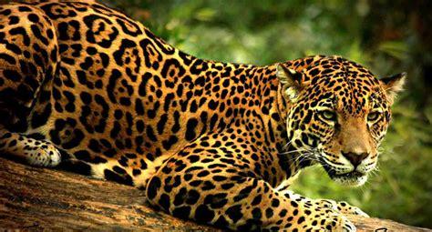 161 el jaguar es la mascota de incae business school