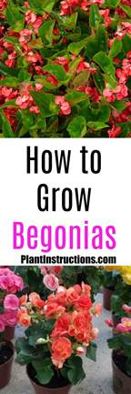 how to grow a herb garden how to grow begonias plant instructions