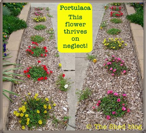 Portulaca This Plant Thrives On Neglect Pet Scribbles Flower Plants For Garden