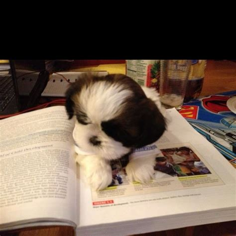 puppy studying 204 best shih tzus images on fluffy pets puppys and baby puppies
