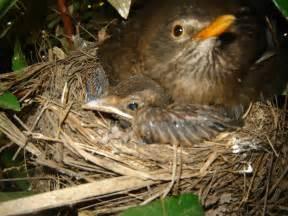 grade 3a chaffer the birds nest