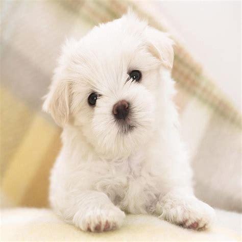 maltese puppy names 10 best maltese names pinsit