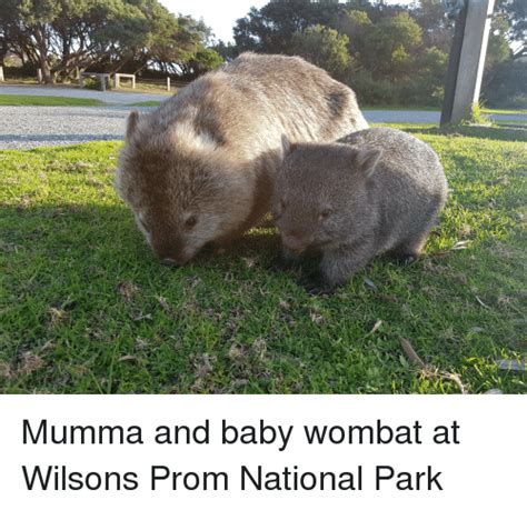 25 best memes about baby wombat baby wombat memes