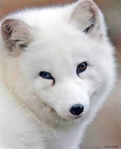 Arctic fox with blue eyes gallery x3cb x3earctic fox x3c b x3e