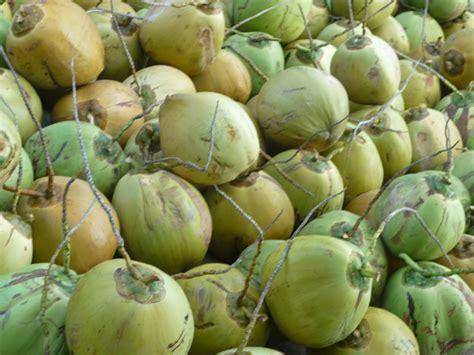 Ton Nasa Untuk Lele budidaya kelapa panduan budidaya agro