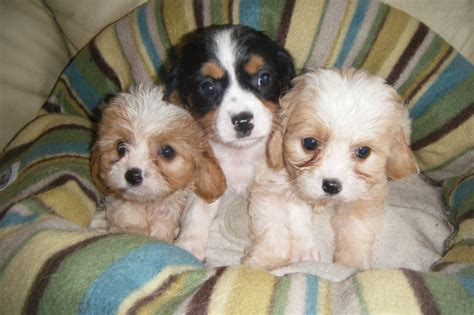 puppies for cavapoo puppies for sale taunton somerset pets4homes