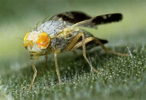 fruit flies fruit flies archives what s that bug