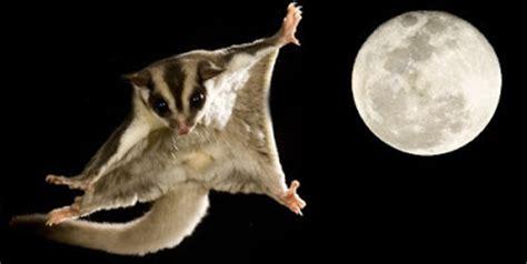 mammifero volante world natura lo scoiattolo volante