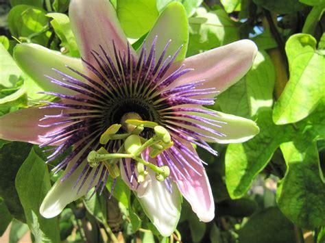 fiori passiflora fiori di passiflora garden it