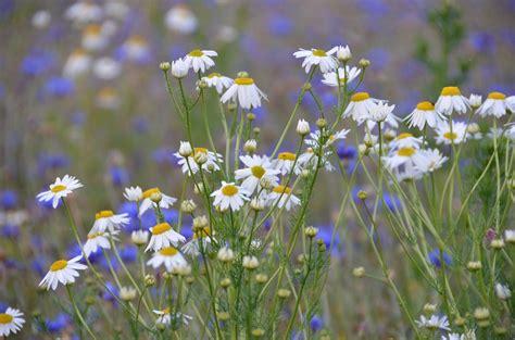 fiori prato foto gratis fiore di co prato estate prato