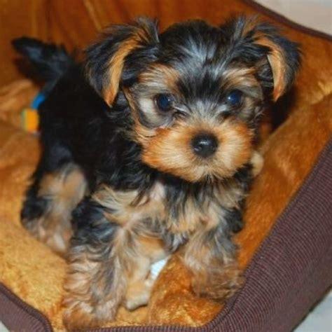 my new yorkie puppy 98 best yorkie parti yorkie morkie shorkie images on animals yorkies