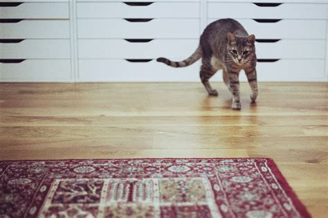 how fast can a run how fast can house cats run top speed vs humans vs dogs