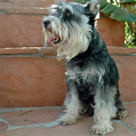 Standard Schnauzer Shedding by Hypoallergenic Dogs Breeds That Don T Shed