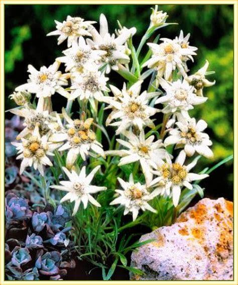 edelweiss fiore alpino edelweiss stella alpina