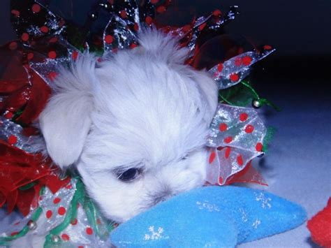 maltese puppies for sale in nh maltese puppies for sale near brandon mississippi akc marketplace