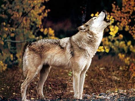 On Wolf wolf hd desktop wallpapers