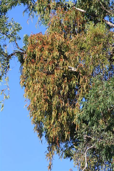 birds of australia key plants mistletoe loranthaceae