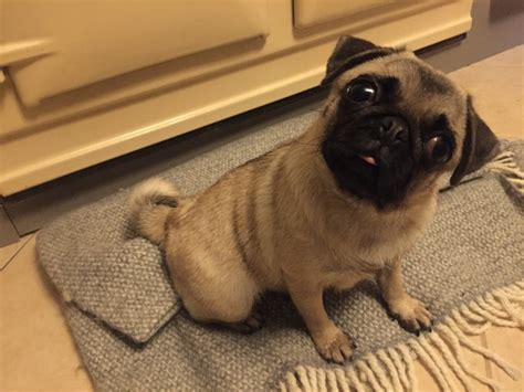 pug grown small fully grown 18 months salisbury wiltshire pets4homes