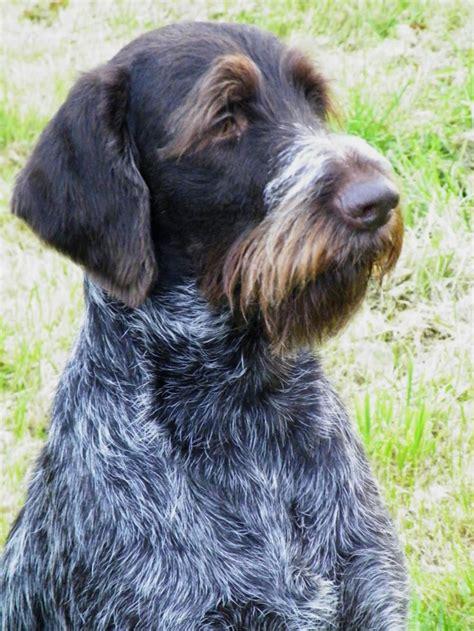 german wirehaired pointer puppies german wirehaired pointer gun dogs