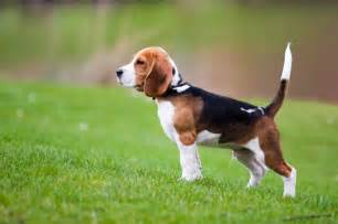 Es Cur Beagle Breed Health