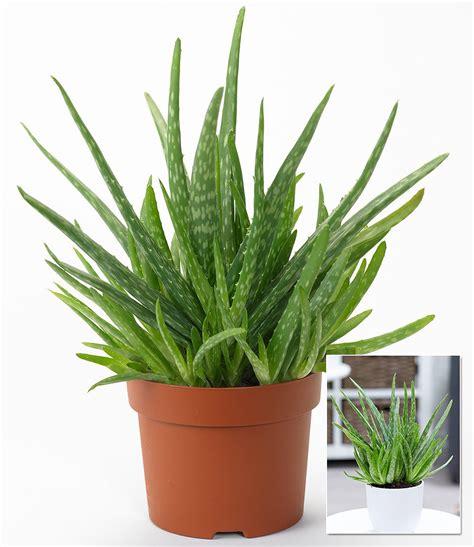 Pflege Aloe Vera Pflanzen 2373 by Aloe Vera 1 Pflanze G 252 Nstig Kaufen Mein Sch 246 Ner