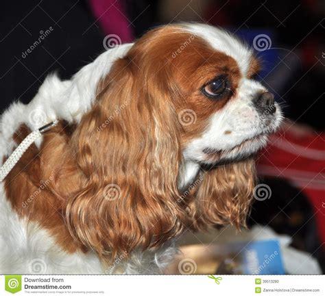 kibbe short nose big eyes king charles spaniel dog stock photo image of canine