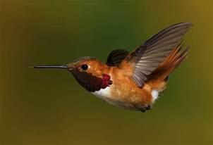rufous hummingbird migration range diet facts pictures