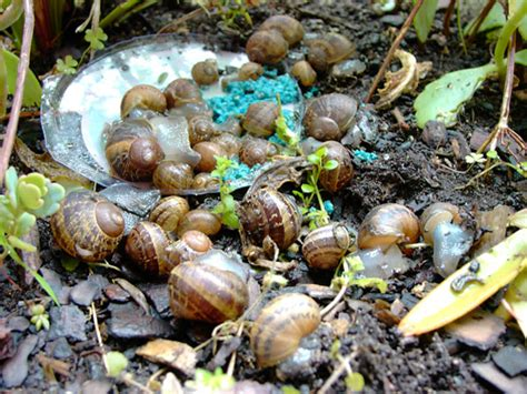 How To Rid Your Garden Of Slugs And Snails The Self Snail Pellets Vegetable Garden