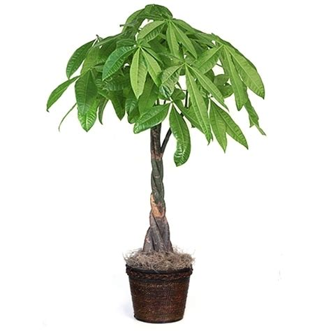 large braided money tree indoor office plants by large tall money tree from easternleaf com