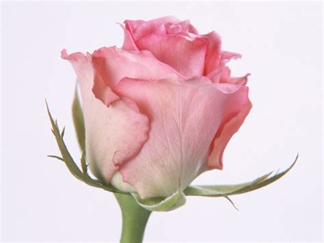 pink roses pink wallpapers wallpapers