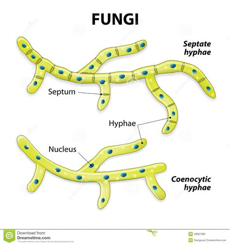 fungi diagram chapter 31 fungi biology 1b with crosbie at california