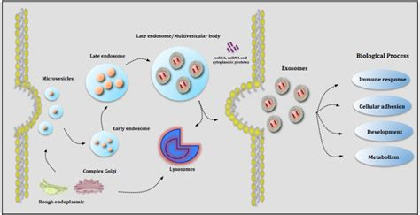 Top Protein Bar The Role Of Placental Exosomes In Gestational Diabetes