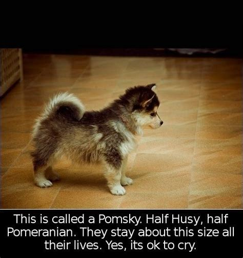 pomeranian half husky half pomeranian half husky just