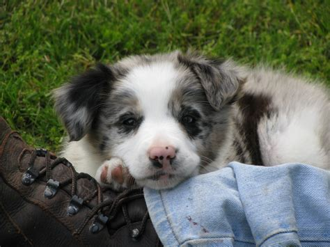 merle border collie puppies border collie puppies blue merle collies collie border collie