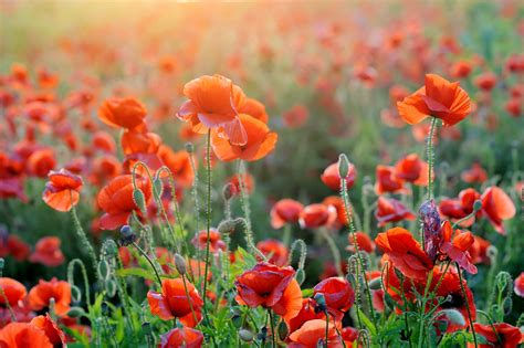 wallpaper poppies orange summer sunlight  flowers