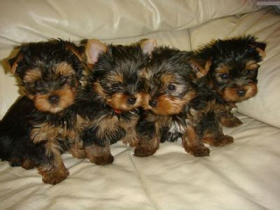 toronto yorkie breeders tea cup yorkie puppies for free adoption