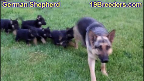 puppies for sale in rockford il german shepherd puppies dogs for sale in chicago illinois il 19breeders