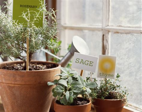 coltivare piante aromatiche in vaso piante aromatiche in vaso come si coltivano