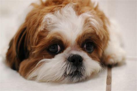 shih tzu diarrhea what should i give to my shih tzu puppy who has diarrhea