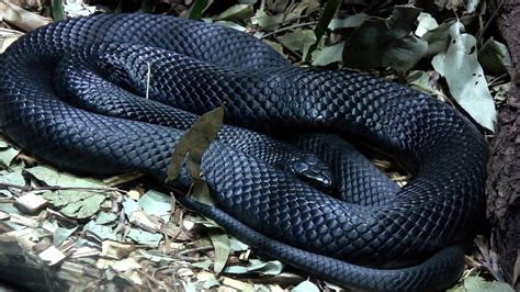 Black Snake by Black Snake Seeinginmanycolours